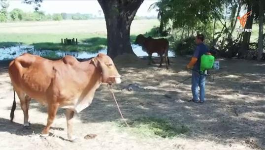 พบโรคระบาดในหมู-วัวที่ อ.ราษีไศล ประกาศเป็นเขตโรคระบาดชั่วคราว