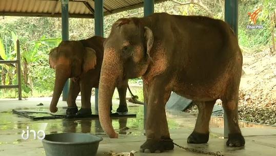 สถานการณ์ช้างไทยในวันช้างโลก