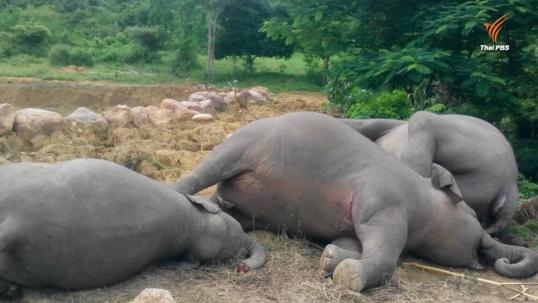 ช้างป่าแก่งกระจานตาย 3 ตัว-เลือดออกปาก สัตวแพทย์เร่งสอบหาสาเหตุ-คาดกินยาพิษ