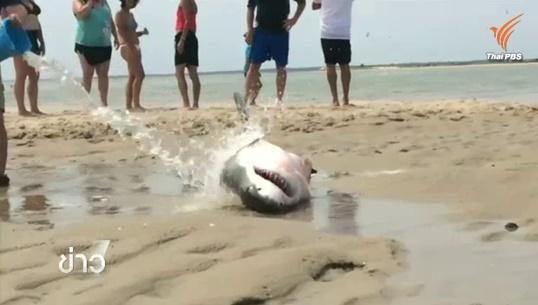 ชาวอเมริกันช่วยชีวิตฉลามขาวเกยตื้นในสหรัฐฯ เหตุว่ายน้ำล่านกนางนวลเพลิน