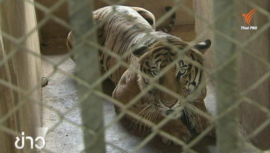 ผู้เชี่ยวชาญสัตว์ป่าเตือน เสือเป็นสัตว์เลี้ยงไม่เชื่อง ไม่ควรเข้าใกล้ทุกกรณี