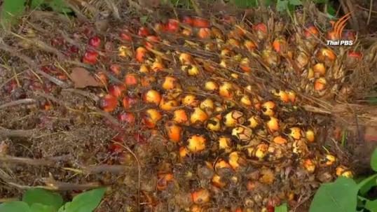 เกษตรกรชุมพรตั้งข้อสังเกตตีราคาปาล์มน้ำมัน ชี้โรงงาน-ลานเทไม่มีเครื่องวัดที่เป็นรูปธรรม