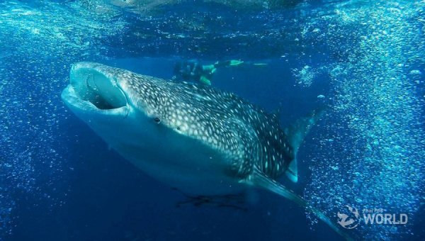 Huge whale shark spotted near Phi-Phi Don islands off Krabi province