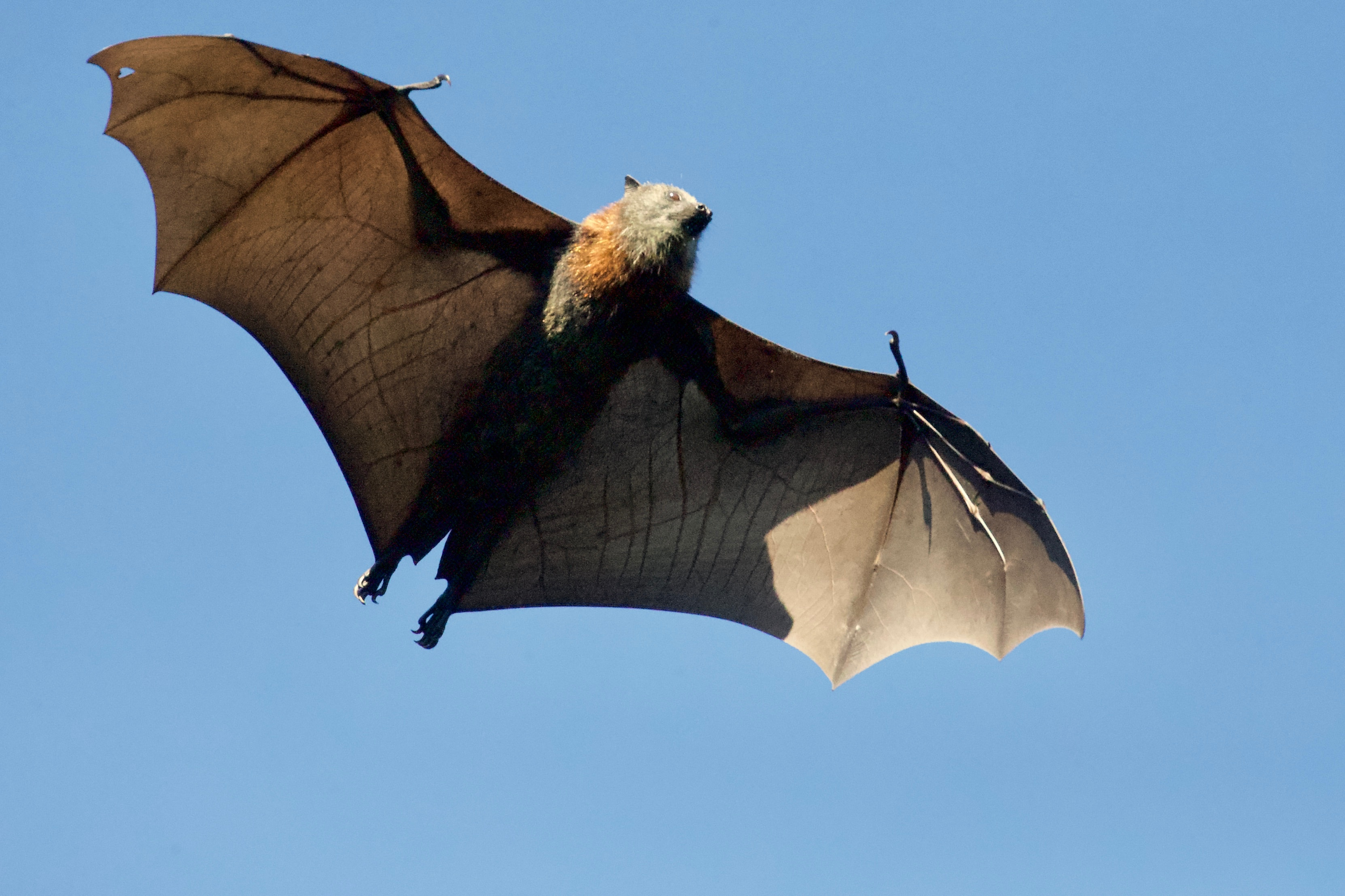 Researchers To Study Thai Bat Species Ability To Carry