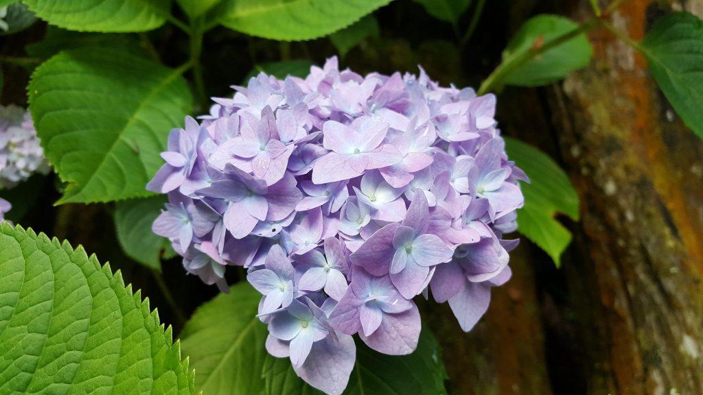 情人節, 情人節送花, 送花, 花語, 繡球花