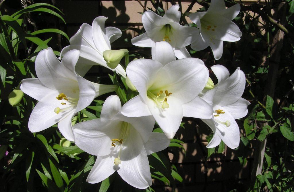 情人節, 情人節送花, 送花, 花語, 百合花