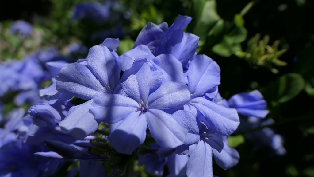 情人節, 情人節送花, 送花, 花語, 紫羅蘭