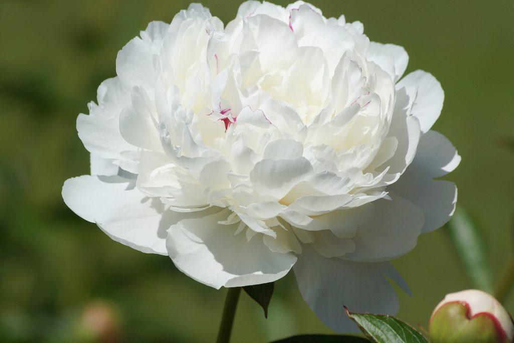 情人節, 情人節送花, 送花, 花語, 牡丹
