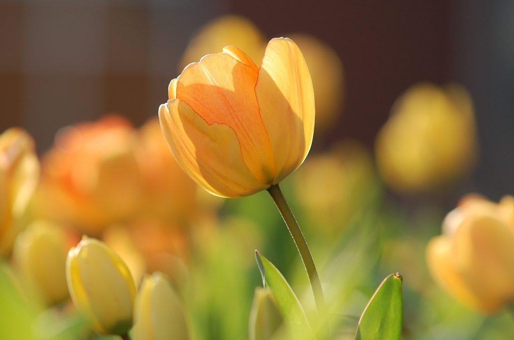 情人節, 情人節送花, 送花, 花語, 鬱金香