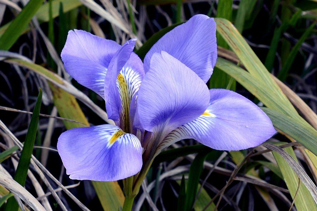 情人節, 情人節送花, 送花, 花語, 鳶尾花