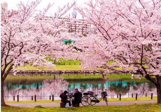 日本櫻花旅遊