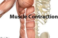 Complete Muscle Contraction course for AIPMT/AIIMS/ Class 12 Board