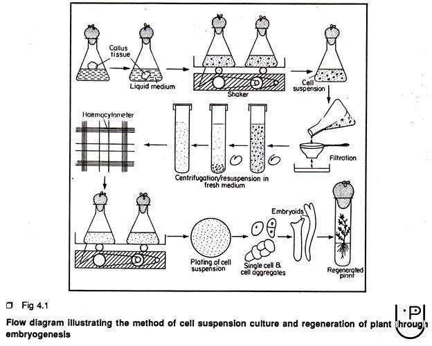 cell suspension culture