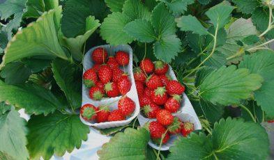 fruit picking in japan
