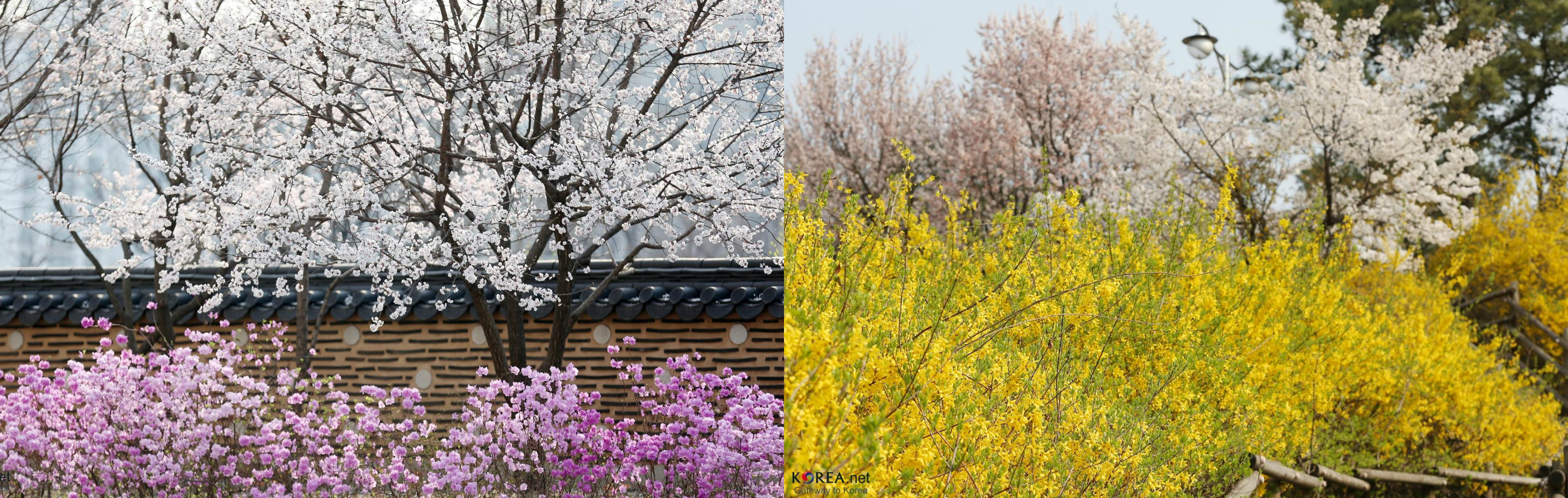 Top 3 Cherry Blossom Viewing Spots In Japan Korea And Taiwan For