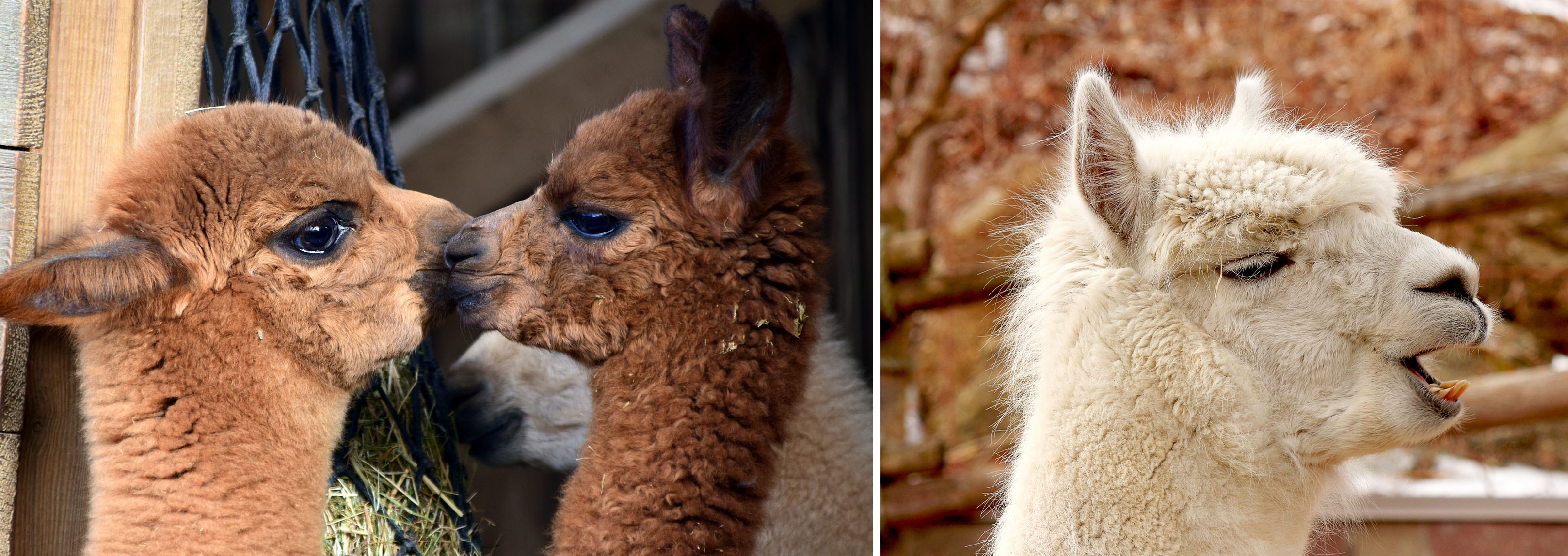 Cute Alpacas in Perth, Western Australia