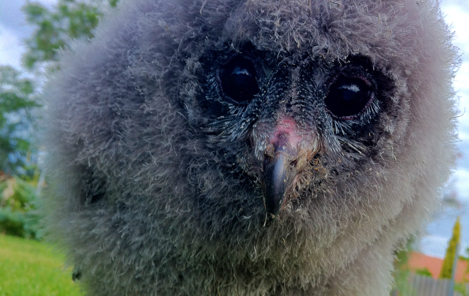 Baby Sooty Owl at Western Australia's Caversham Wildlife Park