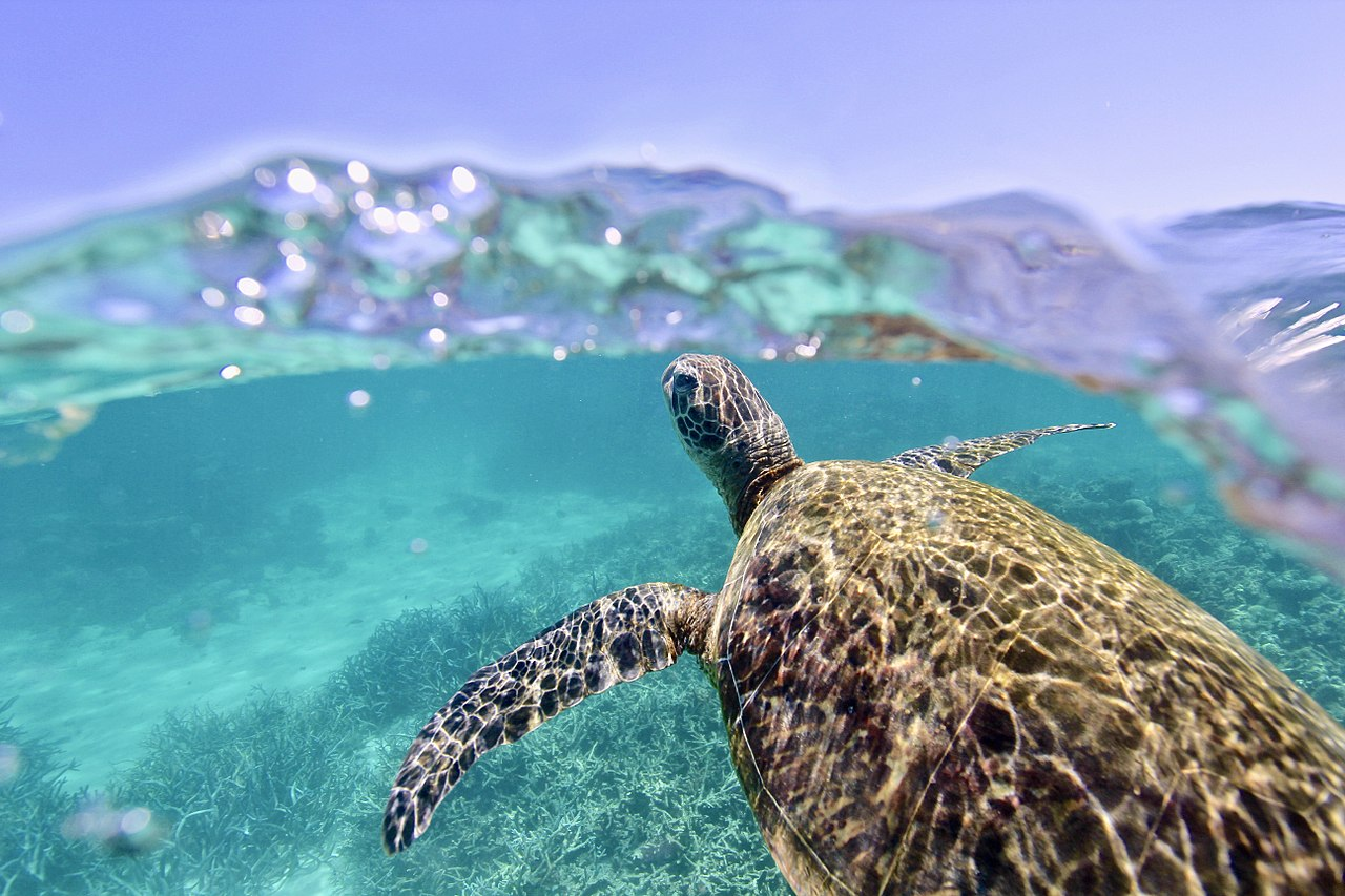 A Green Sea Turtle comes up for air on the beautiful, World Heritage Listed, Ningaloo Reef off Western Australia