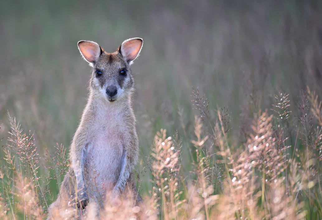 Cute wallabies in Western Australia