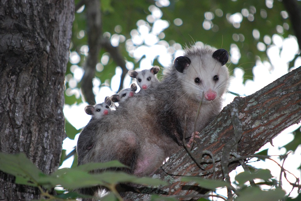 Cute possums in Western Australia