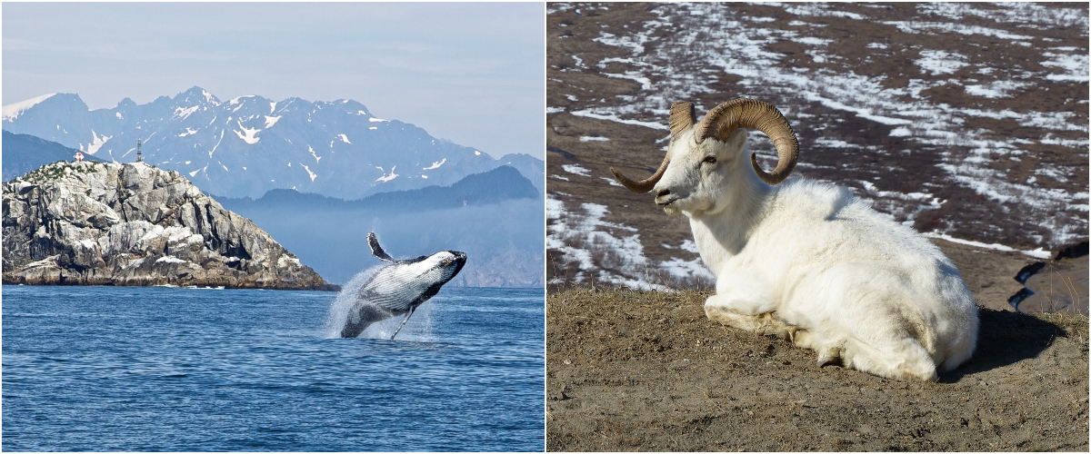 Alaskan humpback whale and dall sheep