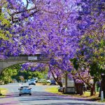 Jacarandas in Grafton City New South Wales