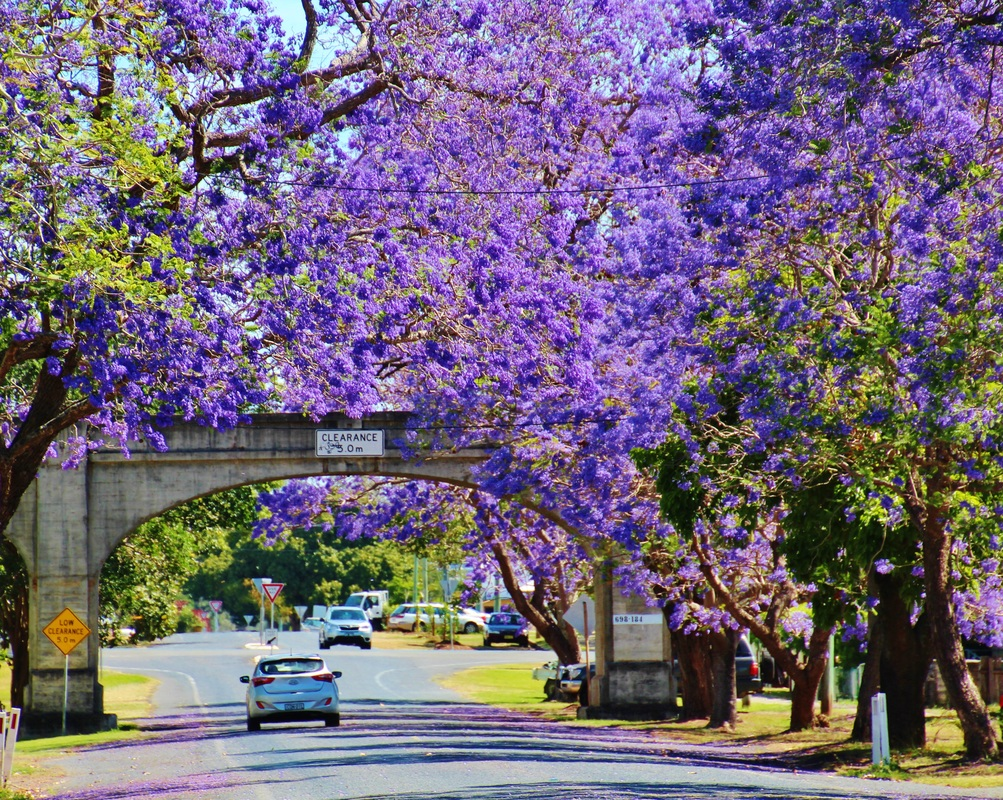 Jacarandas in Grafton City in Spring