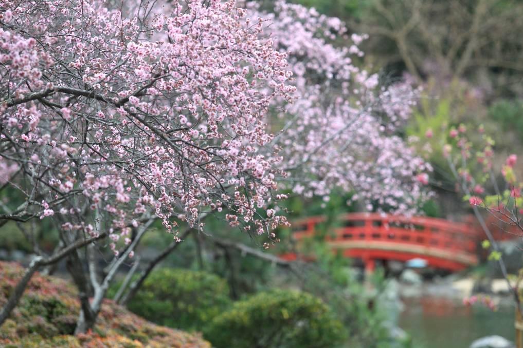 Cherry Blossom Festival in Auburn Botanic Gardens, Sydney