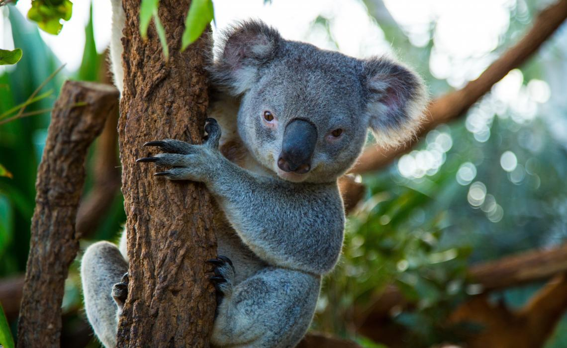 Koalas at WILD LIFE Sydney Zoo