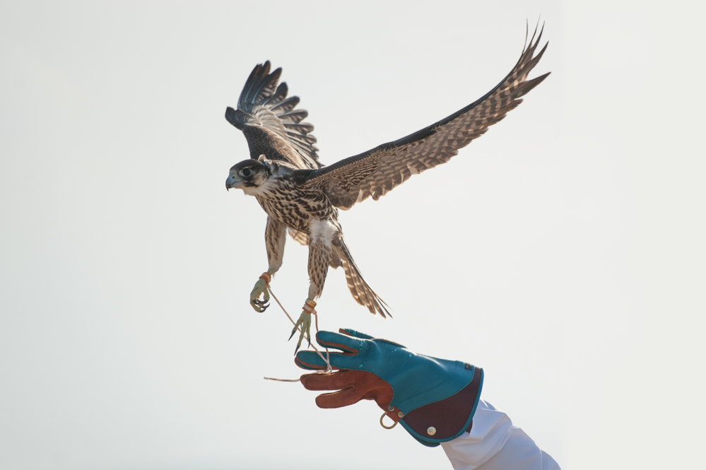 Falconry, a popular pasttime in Qatar