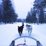 husky sledding in arctic circle