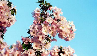 japan cherry blossom 2019 forecast