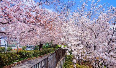 japan cherry blossom 2021
