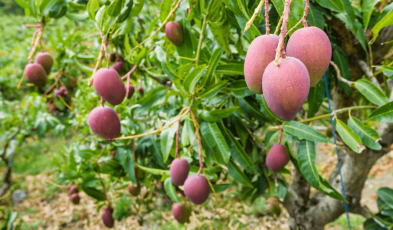 Where You Can Find Purple Taiwan Mangoes in the Country