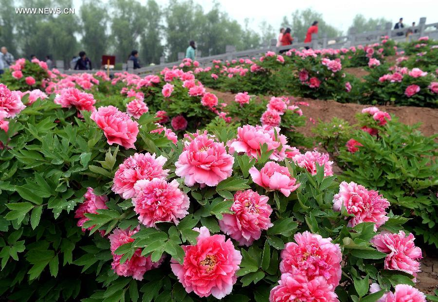 9 10d Shandong Henan All In Peony Flower Tour From Nam Ho Travel