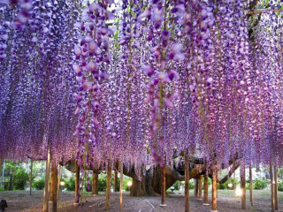 8D6N Floral Kanto - Purple Fuji + Shibazakura