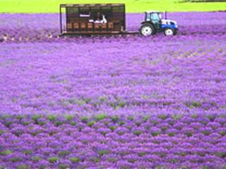 8D6N/8D7N Hokkaido Lavender