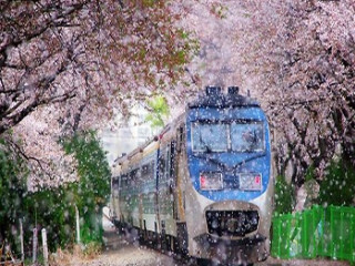 8D Colourful Korea Cherry Blossom