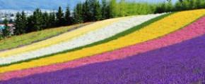 8D6N Hokkaido Lavender (18 Jul)
