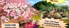 "5D4N Chiangmai + Chiangrai "" Sakura Cherry Blossom """