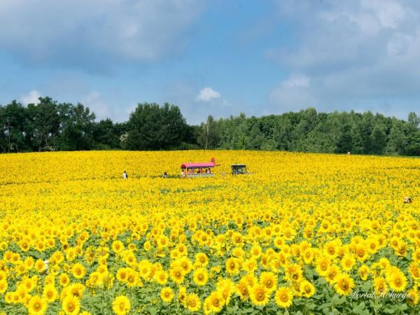 9D6N Sunflower Festival in Hokkaido