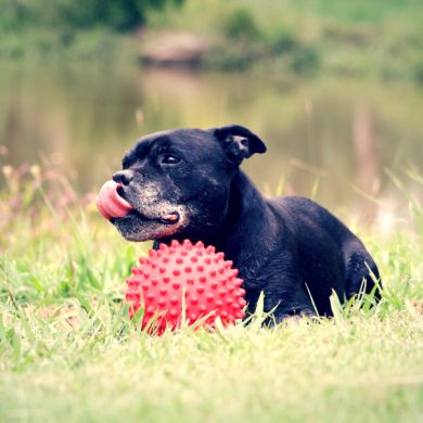 thumb_aussie-dog-mitch-ball-staffie_adaptiveResize_390_390.jpg