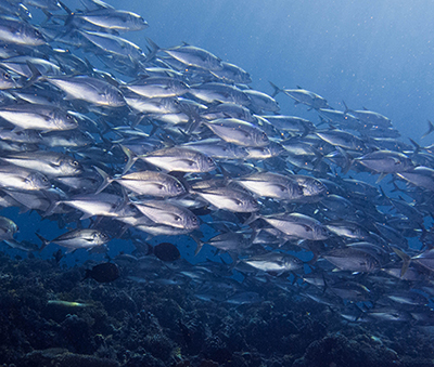 A school of jacks in Tubbataha (Photo: Samantha David)
