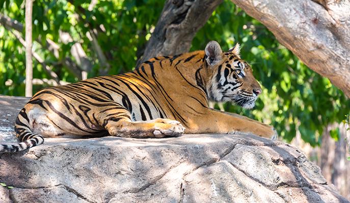 A Siberian tiger at Safari World