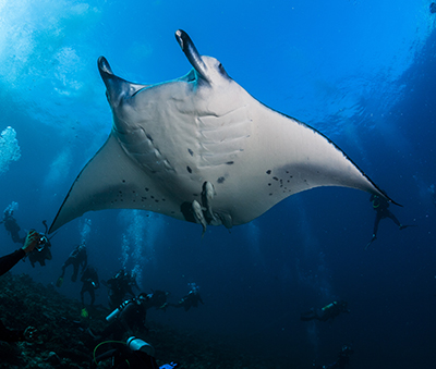 Divers ogling at a manta ray (Photo: Nicolas Voisin)