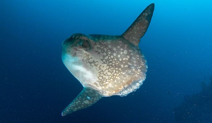 A sunfish at Nusa Penida