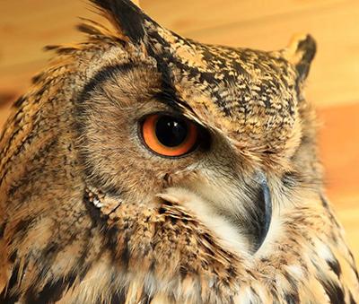An owl at Tori No Iru Cafe, Tokyo