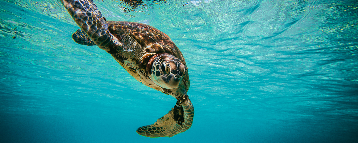 Green sea turtles are listed as an endangered species, and their numbers in Tubbataha are dwindling