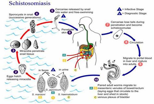 ><figcaption></figcaption></figure></div><p>Các con sán trưởng thành trong vòng 6-8 tuần, thời điểm này chúng bắt đầu đẻ trứng, cặp sán S. mansoni nằm tại các mạch máu mạc treo có thể sinh ra đến 300 trứng mỗi ngày trong suốt quá trình sinh sản. S. japonicum có thể sinh đến 3000 trứng mỗi ngày. Nhiều trứng đi qua thành mạch máu, qua thành ruột và đào thải qua phân. Trứng của sán S. haematobium đi qua nước tiểu - con đường vào niệu đạo và bàng quang. Các trứng trưởng thành có khả năng đi xuyên qua thành tiêu hóa nhờ các enzyme phân hủy protein, đồng thời đáp ứng miễn dịch của vật chủ, gây ra các vết loét mô tại chỗ. Một nửa số trứng được ly giải ra bởi các cặp sán nằm trong các tĩnh mạch mạc treo tràng hoặc sẽ trôi ngược lại gan, nơi chúng sẽ bị đọng lại đó. Các cặp sán có thể sống trong cơ thể trung bình 4,5 năm nhưng cũng có trường hợp nhiễm đến 20 năm.Các trứng bị mắc kẹt lại trong các tĩnh mạch phát triển bình thường, tiết ra các kháng nguyên để tạo ra các đáp ứng miễn dịch mạnh, các trứng này không gây tổn thương cho cơ thể. Sự thâm nhiễm tế bào từ các cơ chế đáp ứng miễn dịch có thể gây cơ chế bệnh sinh liên quan đến bệnh sán máng.</p></div></div><div class=