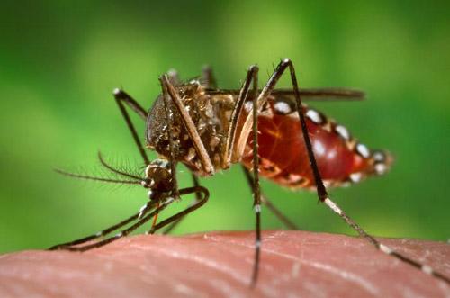 ></figure></div><p>Tại khu vực có lưu hành bệnh sốt vàng ở vùng rừng núi Châu Mỹ và Châu Phi, vi-rút được truyền từ loài khỉ sang người và giữa người với người bởi một số loài muỗi như Ae. africanus, Ae. bromelia, Ae. simpsoni, Ae. furcifer-taylori, Ae. luteocephalus, Ae. albopictus. Có thể thêm vai trò của một số loài muỗi rừng hút máu khác thuộc nhóm Haemagogus.</p><p>Trong các vùng nông thôn và thành thị, bệnh lan truyền chủ yếu bởi loài muỗi Ae. aegypti và có thể của một vài loài Aedes khác. Loài muỗi Aedes aegypti sống gần người, ưa thích đốt và hút máu người, song cũng có thể đốt động vật. Muỗi thường sinh sản ở những ổ nước sạch và phát triển mạnh nhất vào mùa mưa, nhiệt độ trung bình tháng trên 20 độ C.</p><ul><li>Bệnh không lây truyền do ăn uống, tiếp xúc trực tiếp hoặc qua đồ dùng hàng ngày.</li></ul></div></div><div class=